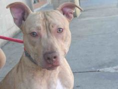 MAGNETO fka FISH FILLET – A1093126 MALE, BR BRINDLE, AM PIT BULL TER, 1 yr STRAY – STRAY WAIT, NO HOLD Reason STRAY Intake condition EXAM REQ Intake Date 10/11/2016, From NY 10467, DueOut Date 10/15/2016,
