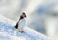 Puffin+on+snow+-+null