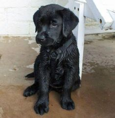 labrador retriever puppies lab puppy, this looks so much like pepper when she was tiny always wet and still is! Black Lab Puppies, Cute Puppies, Cute Dogs, Dogs And Puppies, Doggies, Corgi Puppies, Pyrenees Puppies, Black Labrador Retriever, Labrador Retrievers