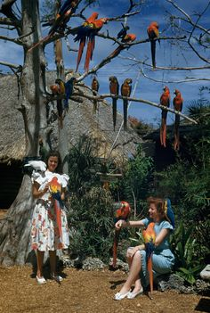 Parrots perch in tree branches and on arms and shoulders of visitors in Miami, November 1950.Photograph by Willard Culver, National Geographic