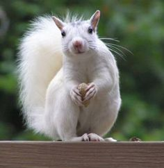 Albino Squirrels at UT (Good luck if seen before a test!)