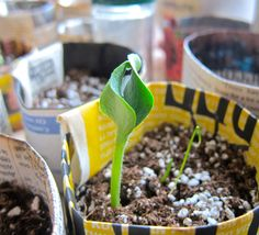 Upcycling in the garden. These seed pots from upcycled newspaper take the plastic out of gardening.