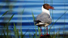 Fish breakfast by Black-headed Gull  | June 2017 | Photo Keijo Väänänen