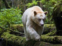 """Urso de Kermode - Nem urso polar, nem albino, esta é uma subespécie do urso negro e também conhecido com """"urso espírito"""", natural do Canadá. Lindo!"""