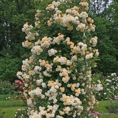 Kordes rose Ghislaine de Felidonde