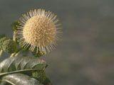 Cephalanthus occidentalis (Common buttonbush) | NPIN
