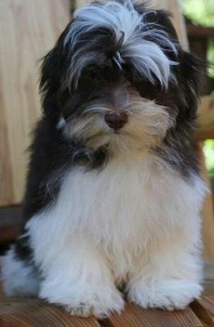Awesome Havanese Long Hair Source by asimfloyd The post Havanese Drawing appeared first on Daisy Dogs. Havanese Grooming, Havanese Puppies, Havanese Haircuts, Dog Grooming, Cute Dogs And Puppies, I Love Dogs, Doggies, Bichon Havanês, Animals And Pets