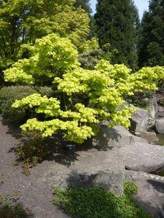 Acer shirasawanum 'Aureum' / Japanischer Gold-Ahorn in Strauchform