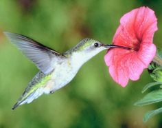Learn about hummingbirds and the plants that will attract them to your lawn. The Old Farmer's Almanac presents a guide to attracting hummingbirds.