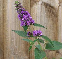 Buy Buddleja davidii Blue Chip (Dwarf Butterfly Bush) in the UK