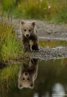 Baby brown bear near Silver Salmon Creek Lodge (Alaska)