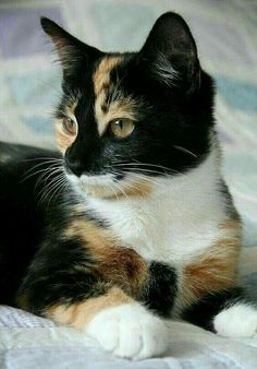 Cute Cats And Kittens, Baby Cats, Cool Cats, Kittens Cutest, Ragdoll Kittens, Funny Kittens, Bengal Cats, White Kittens, Siamese Cats
