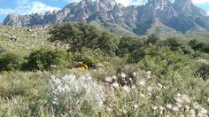 Organ mountains with Apache plumes