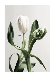 Lovely botanical poster of white tulips in close-up. White tulips stand for forgiveness and respect and are the perfect flower to give as an apology offer. Tulips signal the arrival of spring which is loved as much as the flower that represents it Nature Posters, Love Posters, White Tulips, Tulips Flowers, Forest Poster, Poster Photo, Gallery Wall Frames, Gallery Walls, Green Facade