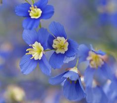 "Heliophila longifolia. The quickest route possible to a high impact explosion of true-blue, .75"" flowers! So bright & so numerous, together they create a solid mass of bouncy, sky blue blooms on slender branching stems to 20"" tall & 18"" across late Spring through mid Summer."