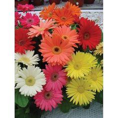 80 Gerbera Daisy MEGA REVOLUTION SELECT MIX Live Plugs Garden Planters 657 #BountifulPlants