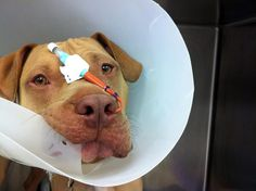 This is Hiro... a sweet boy that had surgery for the removal of a corn cob from his intestines.  He needed a naso-gastric tube for post-op fluid removal from his stomach as well as nutrition, but he made a full recovery! He was such a clown and kept giving us these silly looks! :) ♥ him!