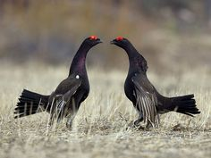 Korpimetson uho - Two male hybrids between a capercaillie  and a black grouse are blustering  photo by Henry Lehto