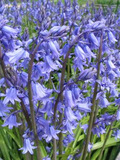 "English bluebells have always been among my favorite flowers; we had ""scads"" of them growing along the house where I grew up!  When I got older I learned they grow wild, in masses in the Forest of Dean, Glos. where my Grandfather was raised!  Mine are usually blooming on his b'day, which was 6 May.  chw"