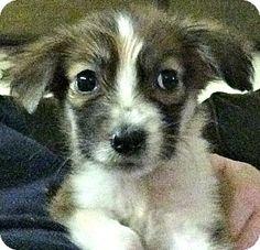Denver, CO - Australian Shepherd/Golden Retriever Mix. Meet Violet, a puppy for adoption. http://www.adoptapet.com/pet/14306812-denver-colorado-australian-shepherd-mix