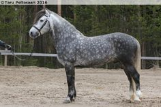 dark dapple grey - Finnhorse stalion Lumi Aaroni Dapple Grey Horses, All About Horses, Horse Pictures, Equine Photography, Horse Breeds, Cob, Beautiful Horses, Animals And Pets, Most Beautiful Pictures