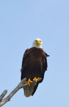 A Bald Eagle spotted in Algonquin Park on Opeongo Lake. Camping Spots, Go Camping, Camping Hacks, Algonquin Park, Camping Pillows, How To Make Fire, Camping With Kids, Cool Eyes, Bald Eagle