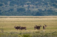 Group of #eland ( #Mabuasehube area, Botswana side) @ Kgalagadi Transfrontier Park, #SouthAfrica. See our #Kgalagadi travel guide: http://www.safaribookings.com/kgalagadi