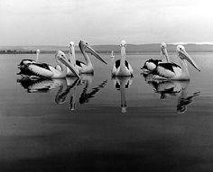 Max Dupain.  Pelicans at the Entrance, 1978