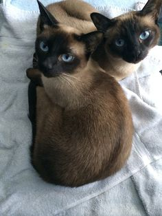 Scrapbook - Siamese Kittens Michigan