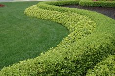 Subtle contrast. The amazing sweep of Pachysandra terminalis and Buxus in this garden shows us why the sole use of foliage plants can be so dramatic. Though both plants will flower, the whole emphasis of the design is the wonderful contrast of subtle leaf color and texture.