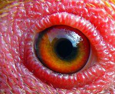 Chicken's eye