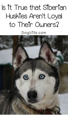 Have you heard the story that Siberian Huskies aren't loyal to their owners? Find out if there is any truth behind it!