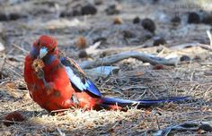 Kangaroo Island- Natures Paradise Crimson Rosella, chewing on casuarina seeds discarded by the Glossy Black cockatoos