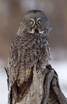 Source: Flickr / billmcmullen  #great grey owl. Great camouflage