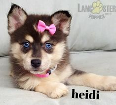 #Pomsky #Charming #PinterestPuppies #PuppiesOfPinterest #Puppy #Puppies #Pups #Pup #Funloving #Sweet #PuppyLove #Cute #Cuddly #Adorable #ForTheLoveOfADog #MansBestFriend #Animals #Dog #Pet #Pets #ChildrenFriendly #PuppyandChildren #ChildandPuppy #BuckeyePuppies www.BuckeyePuppies.com Pomsky Puppies For Sale, Lancaster Puppies, Love To Meet, Animals Dog, Puppy Eyes, My Daddy, Mans Best Friend, Blue Eyes, Puppy Love