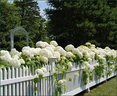 More white picket fence.....lots of white hydrangeas!