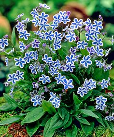American forget-me-not (Omphalodes cappadocica 'Starry Eyes') is a very elegant plant. The flowers of this American plant have unusual shapes and colour combinations. in fact white and blue. This forget-me-not is an excellent ground cover plant!