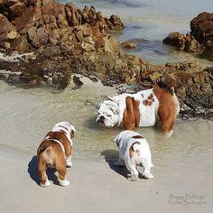 Baggy Bulldogs - Timeline Photos