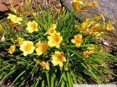 Daylilly. Full sun perennial. Non toxic to dogs.