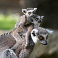 Ring-Tailed Lemurs (Lemur catta), Madagascar. These small primates are known as 'prosimians,' meaning 'before monkeys'.