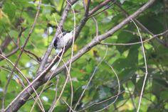 エナガ. Long-tailed tit. 7 October 2016.