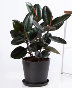 Plants lizzy likes Buy Potted Bloomscape Burgundy Rubber Tree