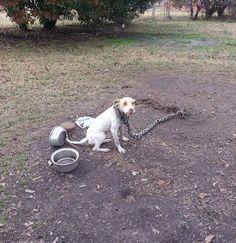 pit bull..misty will B avail 4 adopt afta comp.rehab