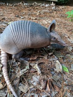 March of the Armadillo: The odd little armored animal that's settling into St. Louis