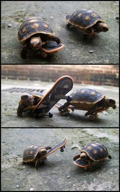 Two turtles riding on miniature skateboards. @Mallory Beatty