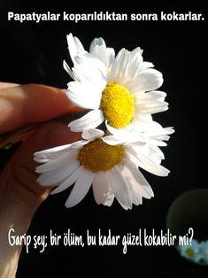 Papatyalar koparıldıktan sonra güzel kokarlar.   Garip şey; Bir ölüm, bu kadar güzel kokabilir mi?  www.love.gen.tr #Aşk #Sevgi