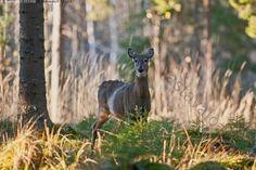 Valkohäntäkauris - peura valkohäntäpeura peurat laukonpeura valkohäntäkauris Odocoileus virginianus hirvieläin metsä