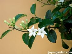 This is Stephanotis or Madagascar Jasmine. It's growing in my neighbor's front yard here in Santa Barbara. It was commonly used in bridal bouquets in years past. The scent is wonderful!