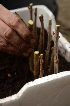 Det kan måske lige nås – stiklinger – Beretninger fra et autentisk landbrug Scandinavian Garden, Edible Garden, Dream Garden, Garden Inspiration, Garden Ideas, Outdoor Gardens, Planters, Urban Gardening, Homesteading