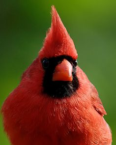 Cardinal Headshot - This lovely fellow posed long enough for a headshot.